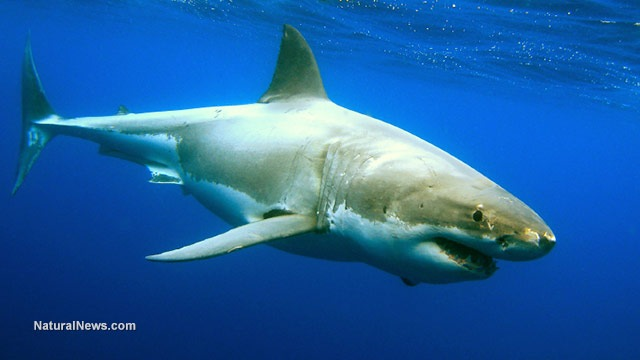 VACCINE SLAUGHTER: An estimated 500,000 sharks will have to be killed and harvested to create a coronavirus vaccine