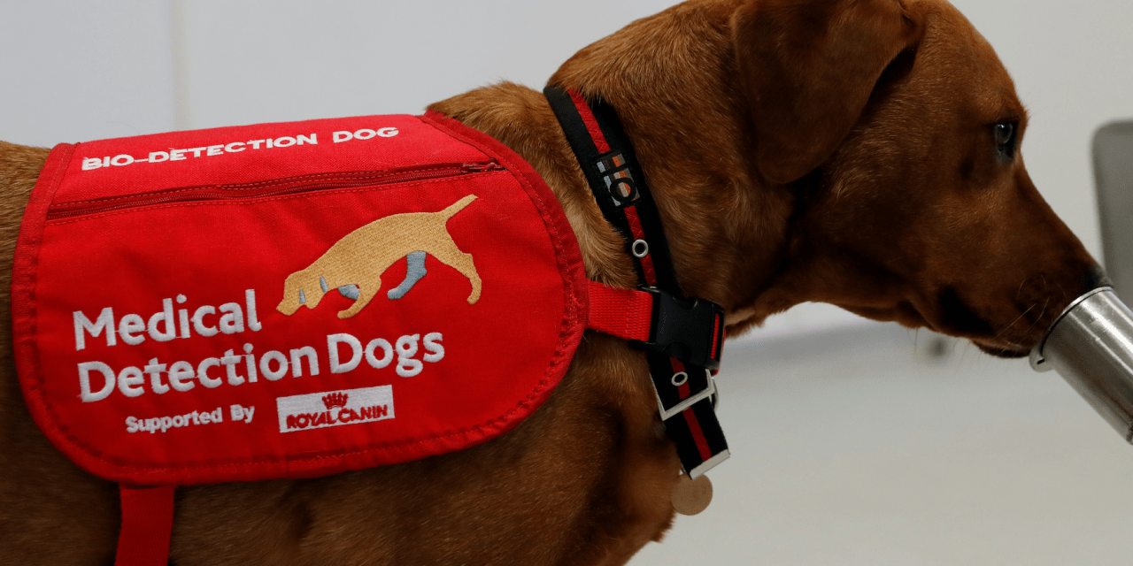 Covid-19 detection dogs could screen up to 250 people per hour