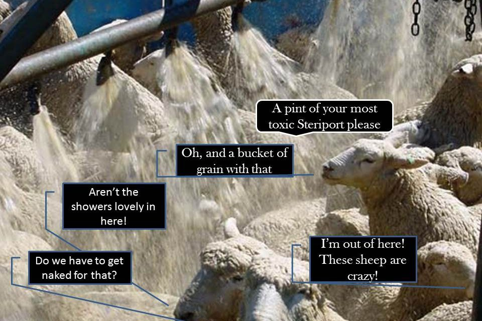 Will Sheep Pay To Be Sprayed in a Steriport Sheepdip Simply to have a drink with friends? Unfortunately, I think they will….